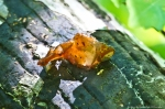 HSNP Gulpha Gorge Trail Jelly Fungus