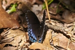 HSNP Hot Springs National Trail Red Spotted Purple Butterfly