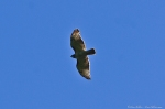 HSNP Red-Tailed Hawk