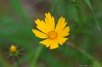 HSNP North Mt Loop Cutleaf Coreopsis