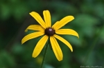 HSNP Hot Springs Mt Trail Black Eyed-Susan
