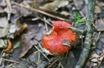 HSNP Upper Dogwood Trail Red Gilled Fungi