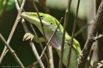 HSNP North Mt Loop Northern Green Anole (Anolis carolinensis carolinensis)