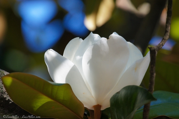Nature Photography Lines and Light Magnolia June 17 2015