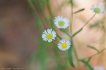 HSNP North Mt Loop Daisy Fleabane