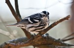 HSNP Eye Contact - Black and White Warbler