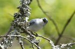 HSNP Eye Contact - Blue-Gray Gnatcatcher
