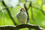 HSNP Eye Contact - Chipping Sparrow