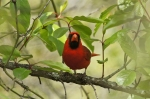 HSNP Eye Contact - Male Cardinal