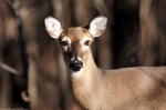 LCSP Eye Contact - Whitetail Deer