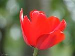 HSNP Promenade Red Tulip