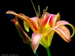 HSNP Floral Trail Tawny Day Lily
