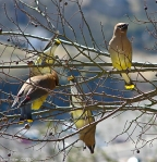 #Photo101 Energy and Motion - Cedar Waxwing