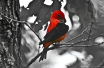HSNP Floral Trail Scarlet Tanager