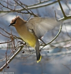 Dances with Light on the Trails - Flying Cedar Waxwing