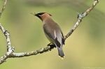 Dances with Light on the Trails - Feedng Cedar Waxwing