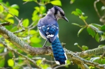 Dances with Light on the Trails - Juvenile Blue Jay