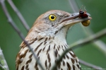 Dances with Light on the Trails - Feeding Brown Thrasher