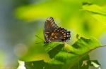 Dances with Light on the Trails - Red Spotted Purple Butterfly