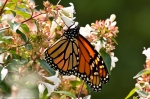 Dances with Light on the Trails - Monarch Butterfly