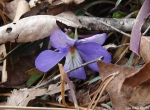 Dances with Light on the Trails - Bird Foot Violet