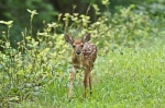 #Photo101 Energy and Motion - Whitetail Deer Fawn