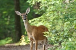 Dances with Light on the Trails - Whitetail Deer