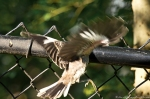 #Photo101 Energy and Motion - Juvenile Mockingbird