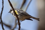 #Photo101 Energy and Motion - Yellow Rumped Warbler