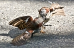 #Photo101 Energy and Motion - Fighting House Sparrows