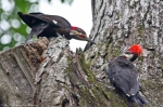 Juvenile Brothers Two Piliated Woodpeckers
