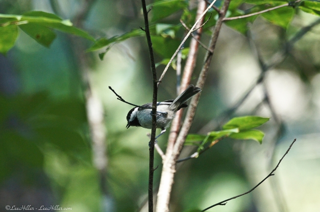 HSNP Hot Springs Mt Trail Carolina Chickadee