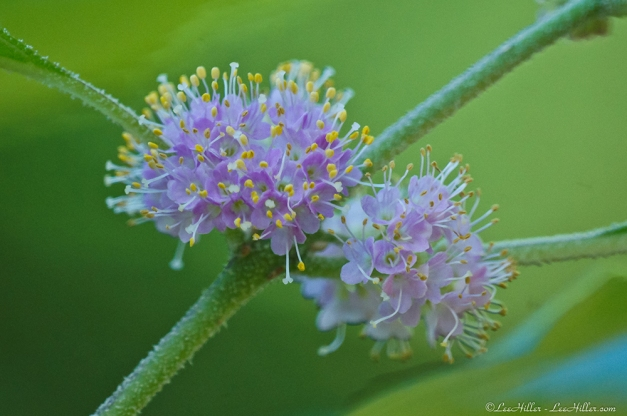 American beautyberry is also known as French mulberry, sourbush, bunchberry, or purple beauty-berry