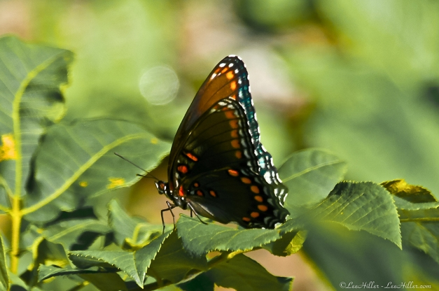 HSNP Red Spotted Purple Butterfly