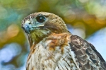HSNP Red-Tailed ‪‎Hawk Hot Springs National Park, Arkansas