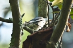 HSNP North Mountain Black White Warbler