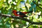 HSNP North Mountain Scarlet Tanager