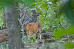 HSNP Hot Springs Mt Trail Whitetail Deer