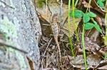 HSNP Upper Dogwood Trail Pregnant Prairie Lizard