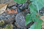 HSNP Upper Dogwood Trail Baby Box Turtle