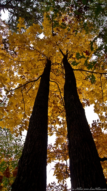 Two Towering Autumn Trees