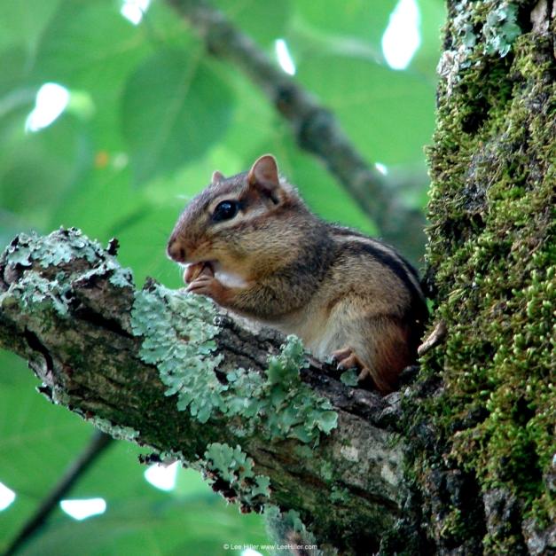 Chipmunk in Tree eating Breakfast Hot Springs National Park, Arkansas