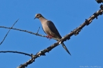 HSNP North Mt Mourning Dove