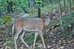 HSNP Whitetail Deer Doe
