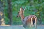 HSNP Hot Springs Mt Whitetail Deer Doe