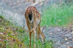 HSNP Hot Springs Mt Whitetail Deer Fawn Eating