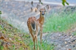HSNP Hot Springs Mt Whitetail Deer Fawn