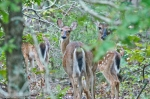 HSNP Hot Springs Mt Whitetail Deer Family