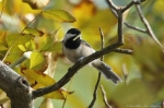 HSNP Goat Rock Trail Carolina Chickadee with Breakfast