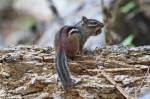 HSNP Goat Rock Trail Chipmunk with Acorn